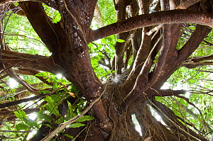 Aerial tree roots from within buttress. Lowland rainforest, Masoala National Park, Madagascar.  -  Nick Garbutt