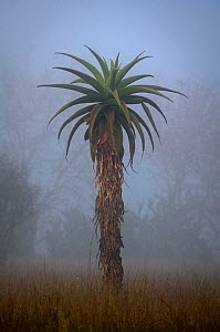 Aloe tree at dawn. Anjampolo Forest, southern Madagascar.  -  Nick Garbutt