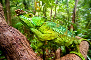 Male Parson's Chameleon (Chamaeleo parsonii) in rainforest understorey. Masoala National Park, Madagascar. - Nick Garbutt