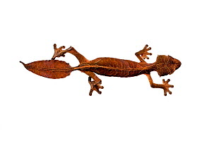 Satanic Leaf-tailed Gecko (Uroplatus phantasticus) on white background. Captive, from Ranomafana National Park, Madagascar.  -  Nick Garbutt