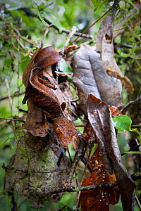 Satanic Leaf-tailed Gecko (Uroplatus phantasticus) camouflaged on dead leaves. From rainforest understory in Ranomafana National Park, Madagascar.  -  Nick Garbutt