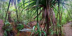 Montane rainforest understorey along a stream with dominant Pandanus sp. Vohiparara, Ranomafana National Park, Madagascar. (digitally stitched image)  -  Nick Garbutt