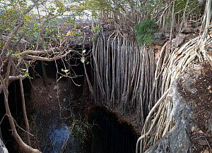 Pool and cave with large Indian banyan Tree (Ficus benghalensis) Tsimanampetsotsa National Park, South West Madagascar. (digitally stitched image) - Nick Garbutt