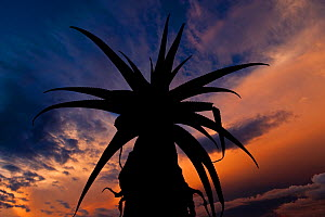 Aloe sp. silhouetted at sunset. Anjampolo Forest, southern Madagascar. - Nick Garbutt