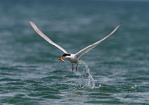 Common tern (Sterna hirundo) fishing, with sandeel in beak, Anglesey, Wales, July - Graham Eaton