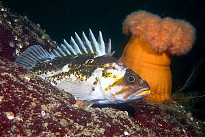 Copper rockfish (Sebastes caurinus) on seabed beside Pulmose anemone, Pacific coast, Canada, August  -  Sue Daly
