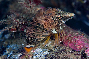 Grunt Sculpin / Pigfish (Rhamphocottus richardsonii)  Pacific coast, Canada, August  -  Sue Daly