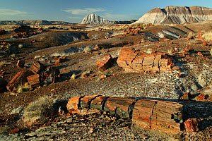 """Petrified tree logs and stumps on slopes of badlands with banded sedimentary rock """"haystacks"""" in background, Petrified Forest National Park, Arizona, USA, March 2008 - Thomas Lazar"""
