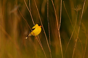 American goldfinch (Carduelis tristis) male in breeding plumage, Tallgrass Priarie WR, Wisconsin, USA, June  -  Thomas Lazar