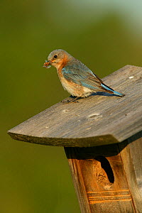 Eastern bluebird (Sialia sialis) female in breeding plumage perched on nestbox with insect prey for chicks, Tallgrass Prairie WR, Wisconsin, USA, June - Thomas Lazar