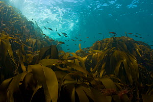 Kelp (Laminaria sp) with shoal of small fish, Channel Isles, UK, June  -  Sue Daly