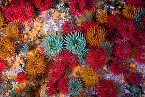 Beadlet anemones (Actinia equina) group underwater showing colour variation, Channel Isles, UK, June - Sue Daly