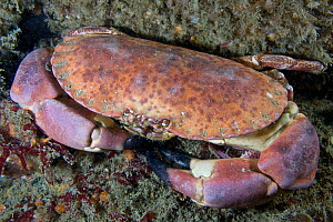 Edible crab (Cancer pagurus) underwater, looking up, Channel Isles, UK, June  -  Sue Daly