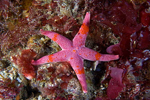 Bloody Henry starfish (Henricia oculata) underwater, Channel Isles, UK, July - Sue Daly