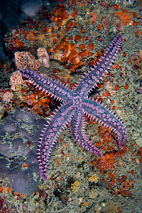 Spiny starfish (Marthasterias glacialis) underwater, Channel Isles, UK, June - Sue Daly
