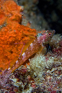 Black faced blenny (Tripterygion delaisi) resting on rock, Channel Isles, UK, August  -  Sue Daly