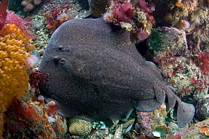 Marbled electric ray (Torpedo mamorata) on seabed, Channel Isles, UK, June  -  Sue Daly