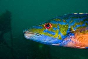 Cuckoo wrasse (Labrus mixtus) male, Channel Isles, UK, June  -  Sue Daly