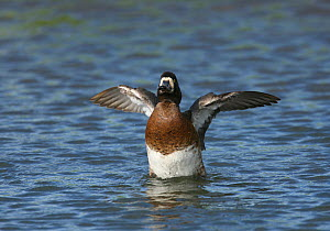 Female Greater scaup (Aythya marila) raised up on water, flapping wings, Iceland, June  -  Hanne & Jens Eriksen