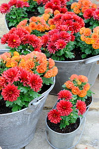 Miniature cultivated Autumn chrysanthemums, planted in galvanised containers, Norfolk, UK, October  -  Gary K. Smith