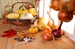 Rustic potting shed bench with Onions (Allium cepa) and Squashes, Norfolk, UK, September  -  Gary K. Smith