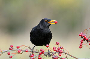Male Blackbird, (Turdus merula) feeding on Hawthorn berries, UK, November - Gary K. Smith