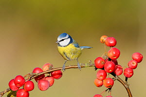 Blue tit (Parus caeruleus) perching amongst crab apples, UK, November  -  Gary K. Smith
