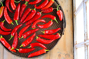 Chillies, 'Hungarian wax yellow' drying on garden sieve on the potting shed bench, UK, September.  -  Gary K. Smith