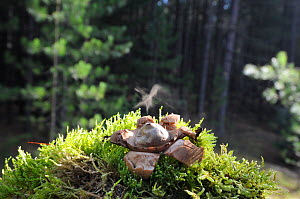 Common earth star (Geastrum triplex) with fruiting body ejecting spores, coastal pine woodland, Norfolk UK, October - Gary K. Smith