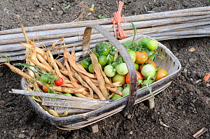 Bundle of bamboo canes and basket of Tomatoes and other vegetables, Norfolk, UK, October  -  Gary K. Smith