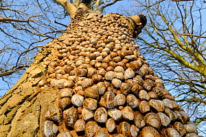 Large group of Common garden snails (Helix aspersa) hibernating on Sycamore tree, Norfolk UK December - Gary K. Smith