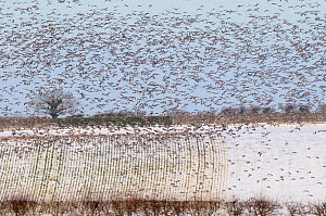 Flock of Pink footed geese (Anser brachyrhynchus) in flight and feeding on snow covered sugar beet tops, Norfolk, UK, December 2009 - Gary K. Smith