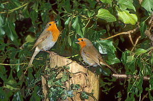 Two Robins (Erithacus rubecula) in agressive territorial dispute, Norfolk, UK, February  -  Gary K. Smith