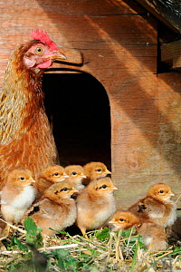 Domestic Welsummers bantam chicken (Gallus gallus domesticus) with one-day chicks, Norfolk, UK September  -  Gary K. Smith