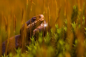 Portrait of female Adder (Vipera berus) in long grass, the Netherlands  -  Edwin Giesbers