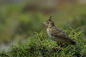 Crested lark (Calerida cristata) with crest raised, perched in shrub, Lesbos, Greece  -  Edwin Giesbers