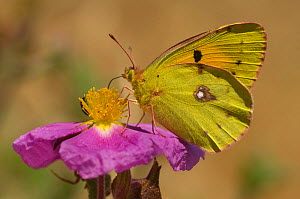 Clouded yellow butterfly (Colias crocea) at rest, feeding on Cistus flower, Lesbos, Greece  -  Edwin Giesbers