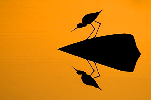 Silhouette of Black-winged stilt (Himantopus himantopus) standing on exposed rock over water, with reflections, Lesbos, Greece  -  Edwin Giesbers