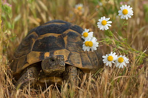 Portrait of Spur-thighed Tortoise (Testudo graeca) in grassland with flowers, Lesbos, Greece  -  Edwin Giesbers