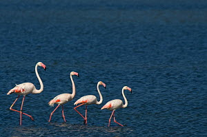 Small flock of Greater flamingo (Phoenicopterus roseus) wading on inland Kalloni lake, Lesbos, Greece  -  Edwin Giesbers