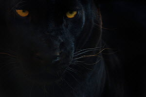 Close up head portrait of melanistic / black Leopard (Panthera pardus) captive  -  Edwin Giesbers