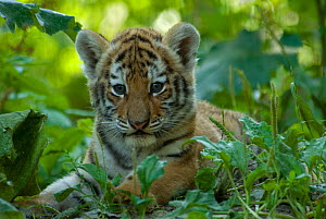 Portrait of Siberian tiger cub (Panthera tigris altaica) lying in green foliage, captive - Edwin Giesbers