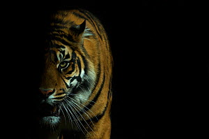 Head portrait of Sumatran tiger (Panthera tigris sumatrae) with face half cast in shadow, and mouth open, captive  -  Edwin Giesbers