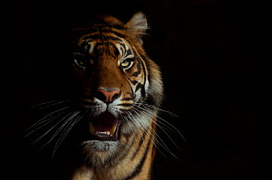 Head portrait of Sumatran tiger (Panthera tigris sumatrae) with face half cast in shadow, with aggressive expression, captive  -  Edwin Giesbers