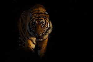 Portrait of Sumatran tiger (Panthera tigris sumatrae) walking towards camera with face half cast in shadow, and ears held back in agressive posture, captive - Edwin Giesbers