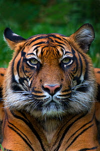 Head portrait of Sumatran tiger (Panthera tigris sumatrae) with one ear head back, captive  -  Edwin Giesbers
