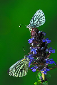 Two Green-veined white (Pieris napi) butterflies at rest on bugle flower. Kingcombe Meadows nature reserve, Dorset, UK, May  -  Colin Varndell