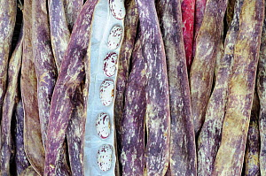Borlotti beans, 'solista' dried pods showing open pod with beans ready for storage, Norfolk, UK, October  -  Gary K. Smith