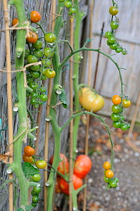 Tomato plants (Solanum lycopersicum) outdoor grown tomatoes ripening against fence, Norfolk, UK, September  -  Gary K. Smith