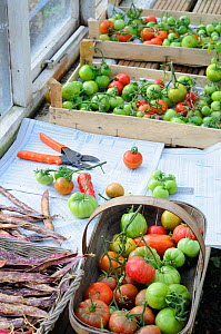 Tomato plant (Solanum lycopersicum) last of the outdoor tomato crop being ripened on greenhouse staging, Norfolk, UK, October - Gary K. Smith